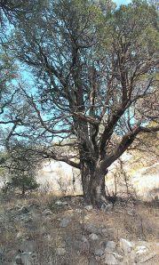 2013-05-12 39 bee tree