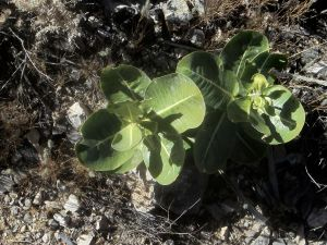 Succulent, making a good job of it at over 5000' in the desert