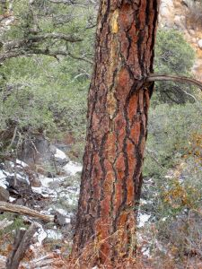 Reddish bark on Ponderosa Pine bole