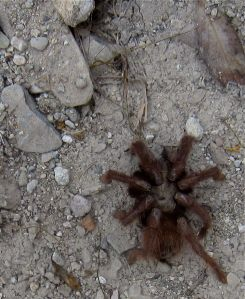 Frozen tarantula on floor of the canyon.