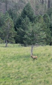 Elk serenade on the Sierra Blanca crest.