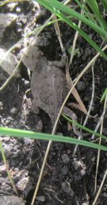 Horned toad alongside Trail 35