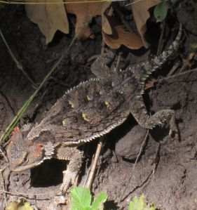 Horned toad competing for trail space on the Little Bonito Creek Trail.