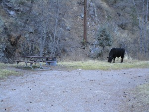 Cow in the Railroad Campground.